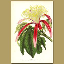 Guiana Chestnut (Pachira insigni)