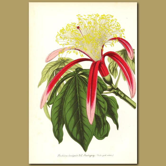 Antique print. Guiana Chestnut (Pachira insigni)
