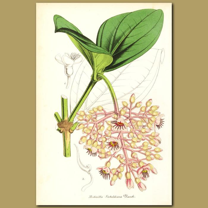 Antique print. Siebold's Medinilla (Medinilla sieboldian)