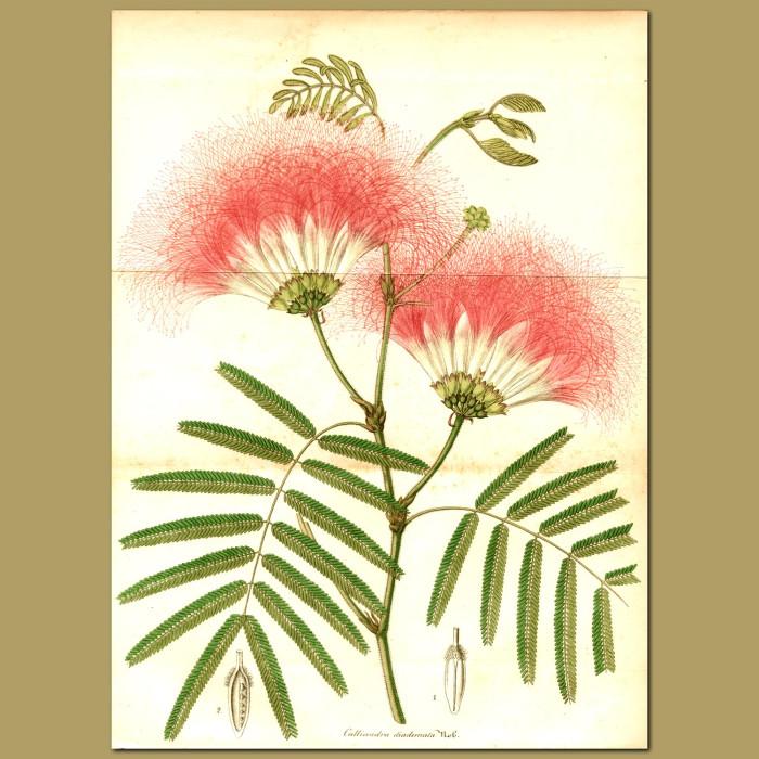 Antique print. Fairy Duster (Calliandra diademat)