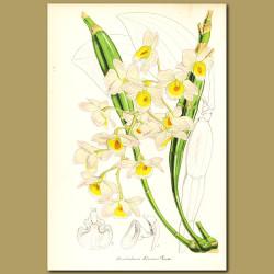 Orchid (Dendrobium farmeri)
