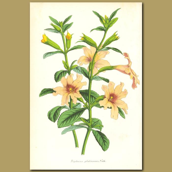 Antique print. Pink Monkey Flower (Dipllacus glutinosu)