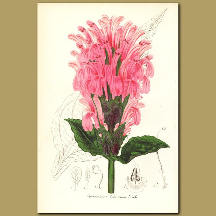 Antique print. Cyrtanhera liboniana