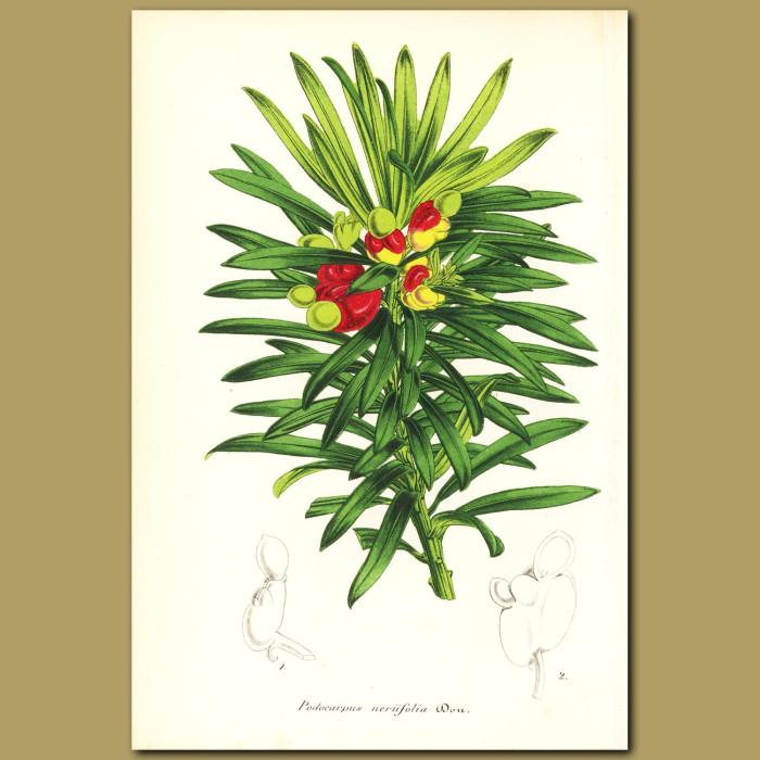 Antique print. Conifer (Podocarpus neriifoli)