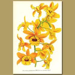 Orchid (Dendrobium fimbriatum var. Oculatu)