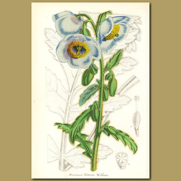 Antique print. Wild Poppy (Meconopsis wallichi)