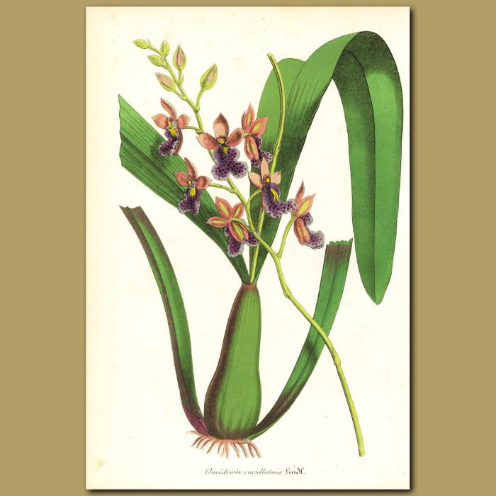Antique print. Orchid (Oncidium cucullatu)