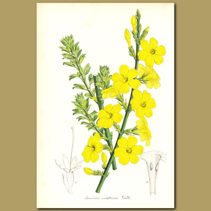 Antique print. Winter jasmine (Jasminum nudifloru)