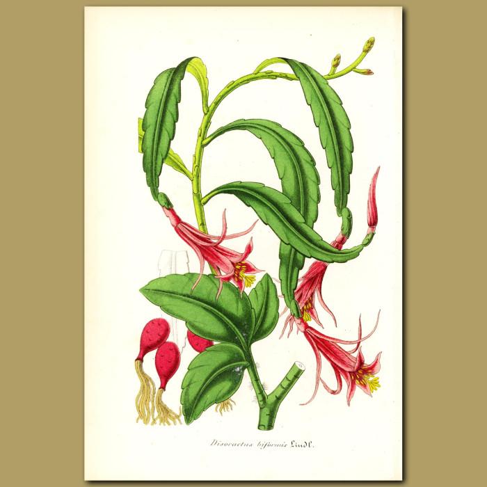 Antique print. Cactus (Disisocactus biformi)
