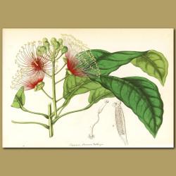 Bayleaf Capertree (Capparis flexuos)