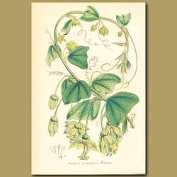 Night-blooming Passionflower (Passiflora penduliflor)