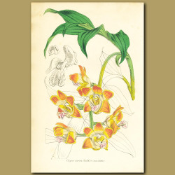 Butterscotch Orchid (Chysis aure)