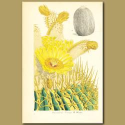 Monster Cactus (Echinocactus visnaga)