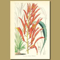 Bromeliad (Pitcairnia jackson)