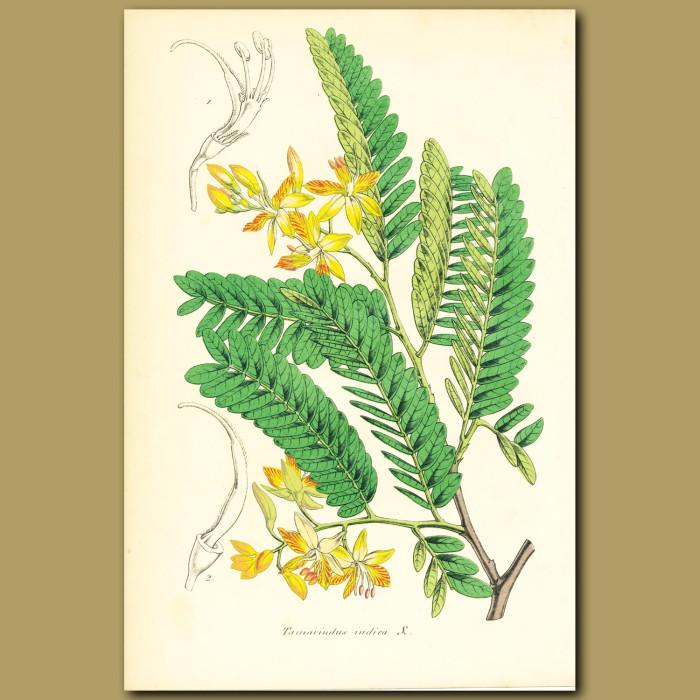 Antique print. Tamarind (Tamarindus indic)