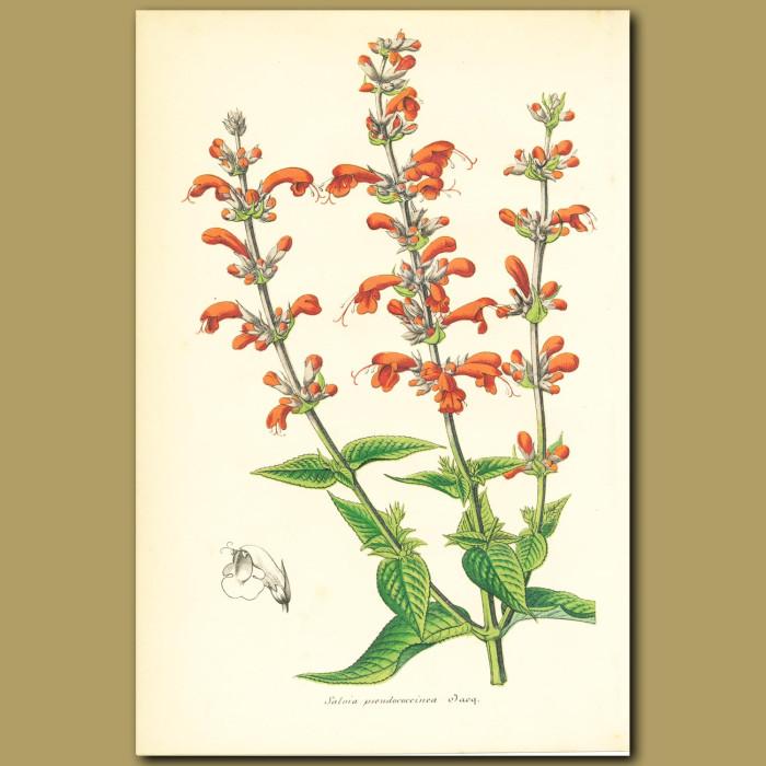 Antique print. Salvia pseudococcinea