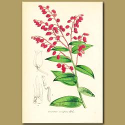 Fetterbush (Leucothoe neriifoli)