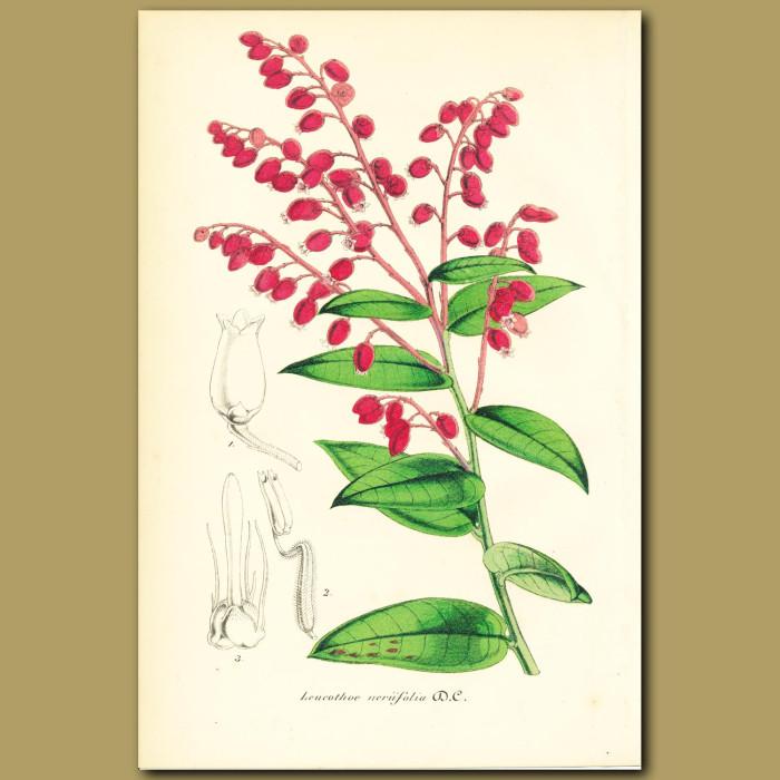 Antique print. Fetterbush (Leucothoe neriifoli)