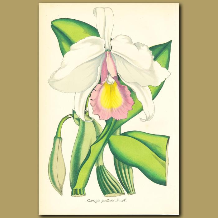 Antique print. Orchid (Cattleya pallid)