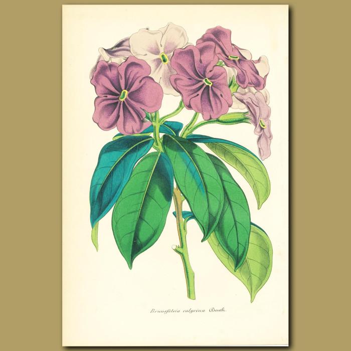 Antique print. Yesterday,Today and Tomorrow (Brunsfelsia calycin)