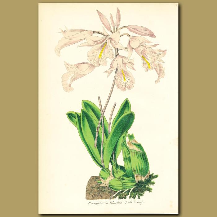 Antique print. Orchid (Broughtonia lilacin)