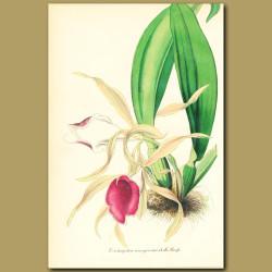 Orchid (trichopilia marginat)