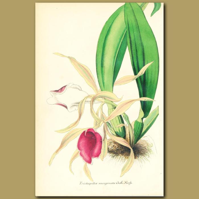 Antique print. Orchid (trichopilia marginat)