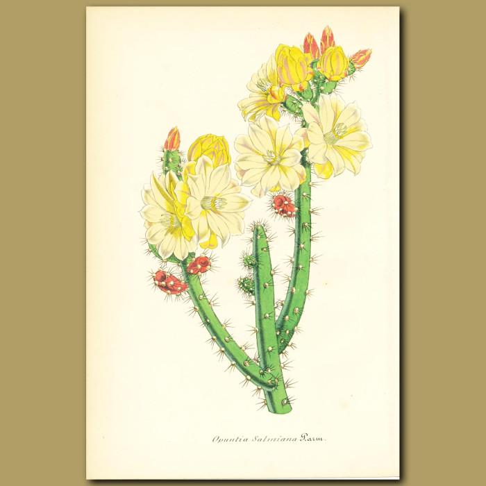 Antique print. Cactus (Opuntia salmian)
