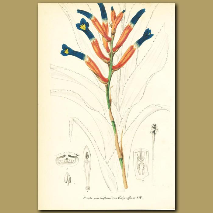 Antique print. Bromeliad (Billbergia libonian)