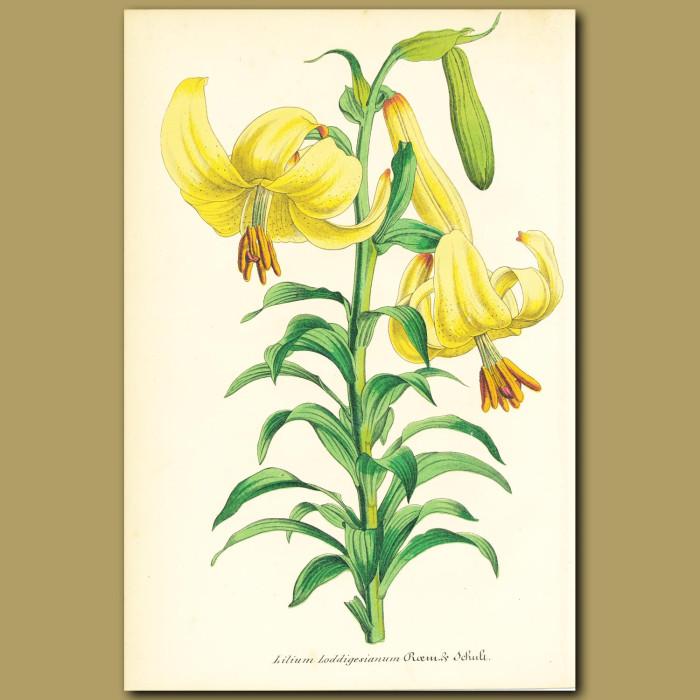 Antique print. Loddiges Lily (Lilium loddigesianu)