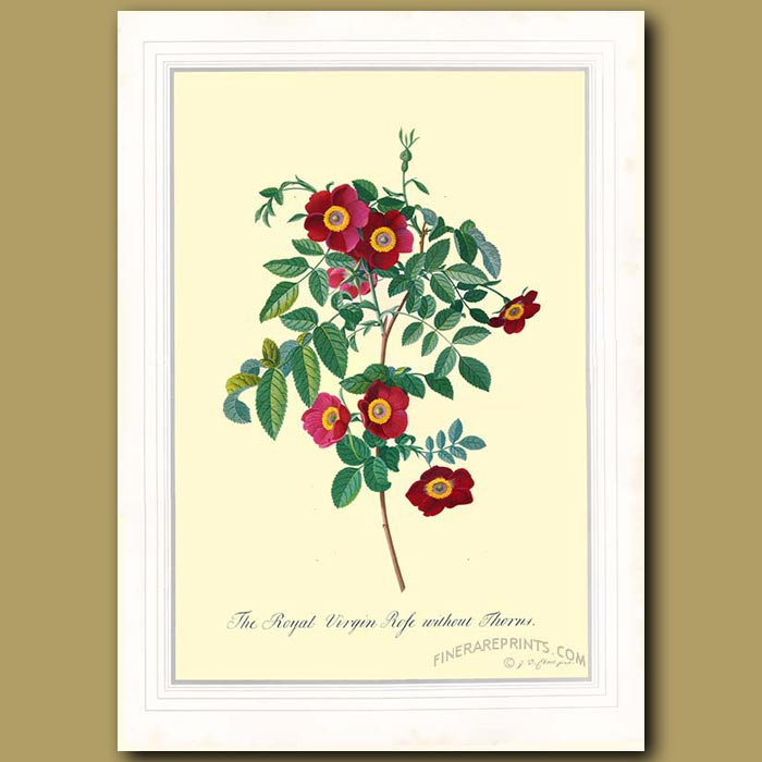 Antique print. The Royal Virgin Rose without thorns