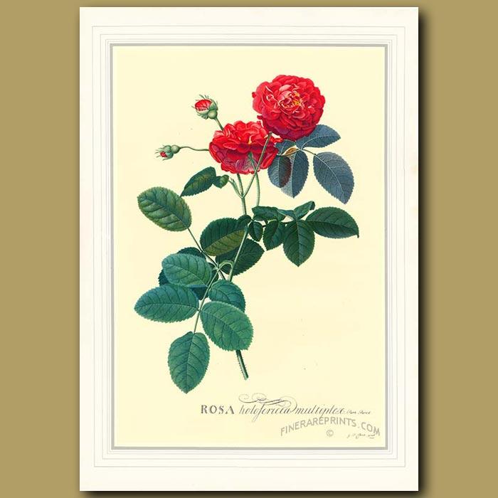 Antique print. Rosa Holosericea Multiplex