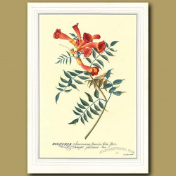 The Trumpet Flower