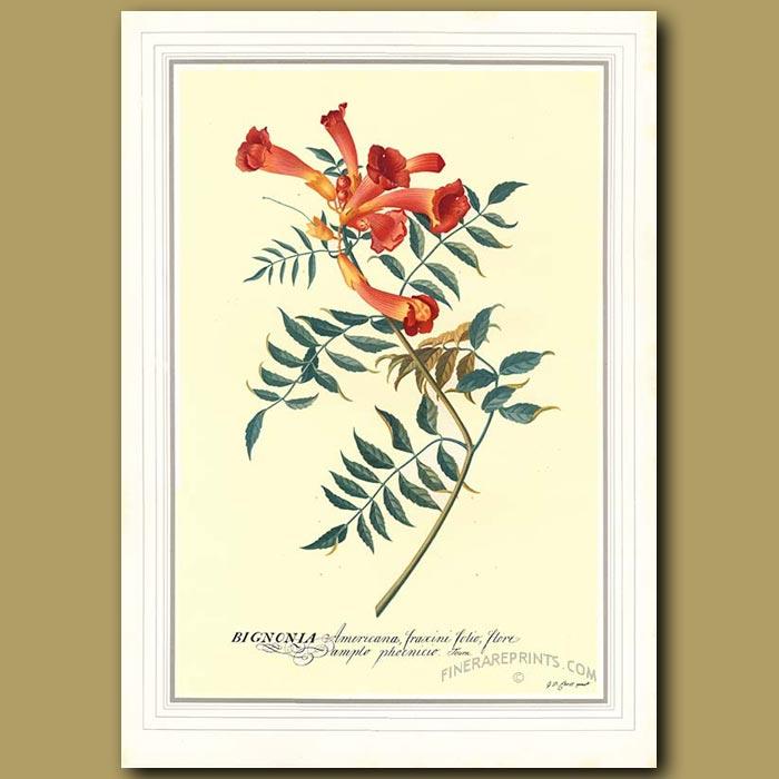 Antique print. The Trumpet Flower