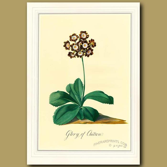 Antique print. Auricula 'Glory of Chilton'