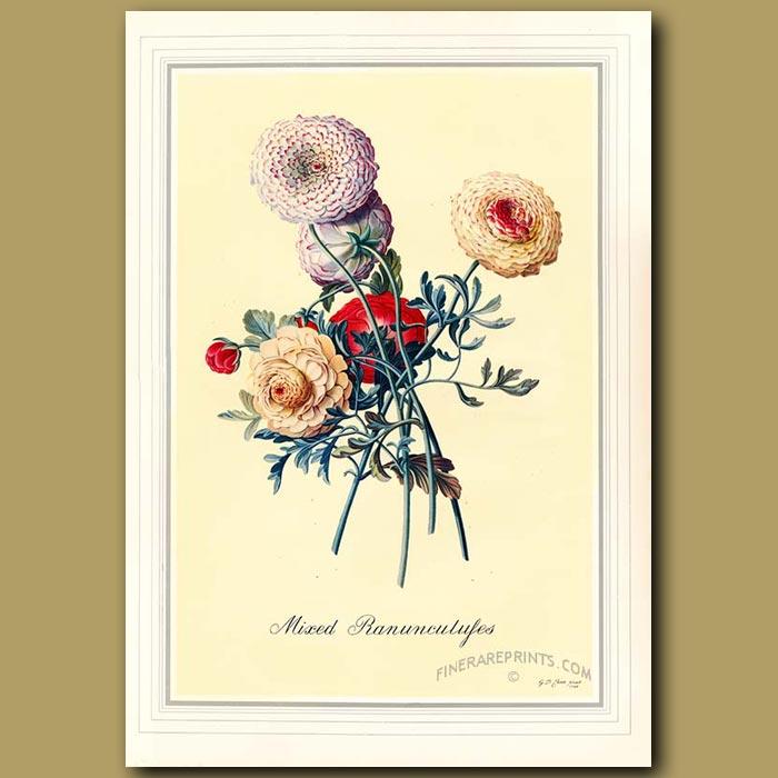 Antique print. Mixed Ranunculuses