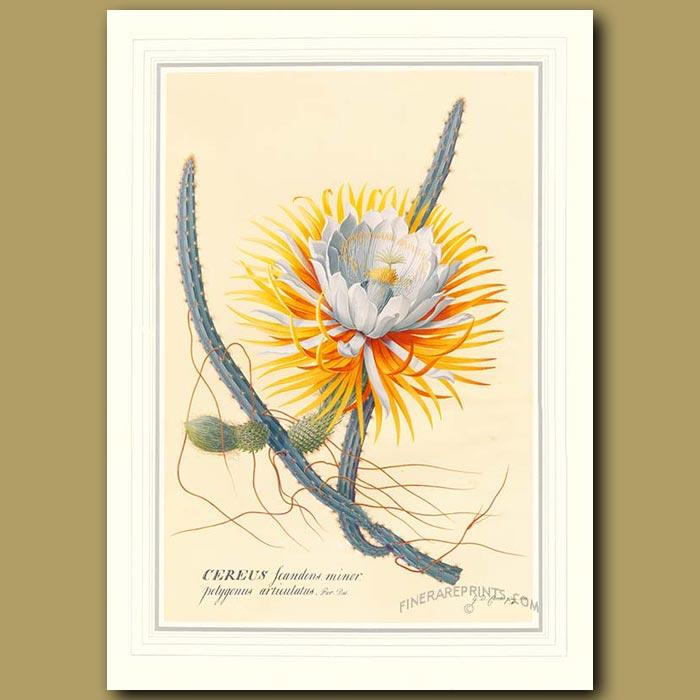 Antique print. Night-blowing Cereus