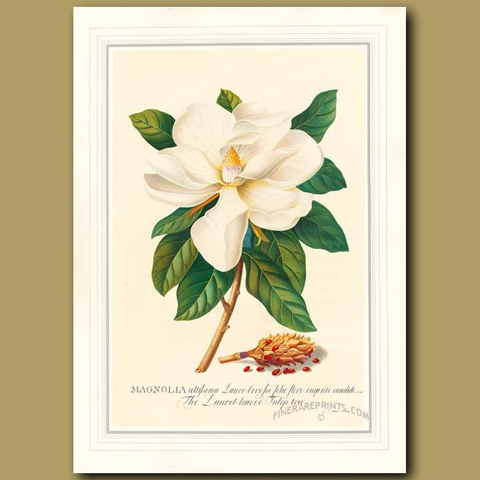 Antique print. Magnolia