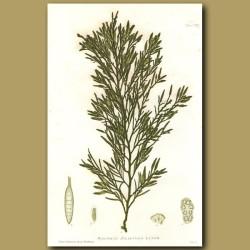 Seaweed: Halidrys siliquosa
