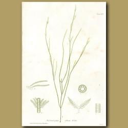 Seaweed: Arthrocladia villosa