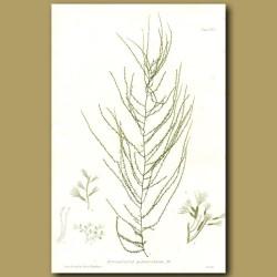 Seaweed: Carpomitra cabrerae