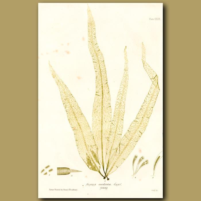 Antique print. Sugar Wrack