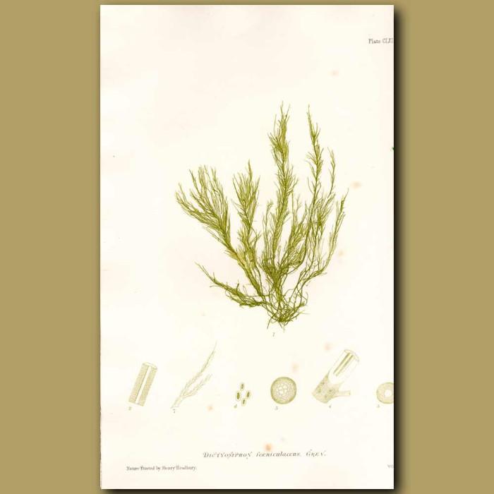 Antique print. Seaweed: Tubular Netweed