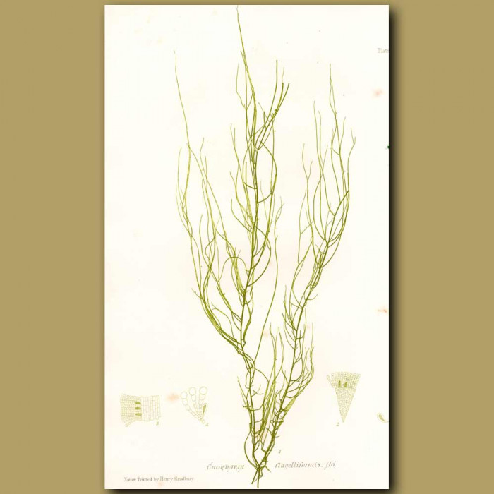 Antique print. Seaweed: Chordaria flagelliformis