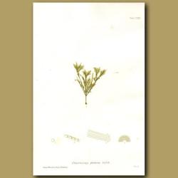 Seaweed: Sphacelaria plumosa