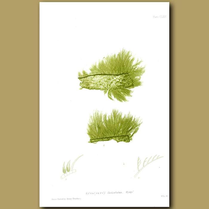 Antique print. Seaweed: Ectocarpus fasciculatus