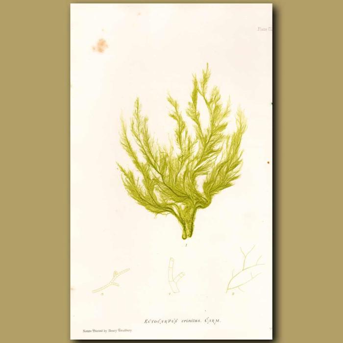 Antique print. Seaweed: Ectocarpus crinitus