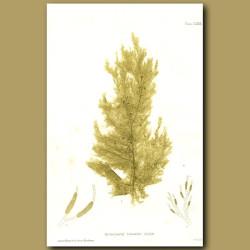 Seaweed: Ectocarpus litoralis