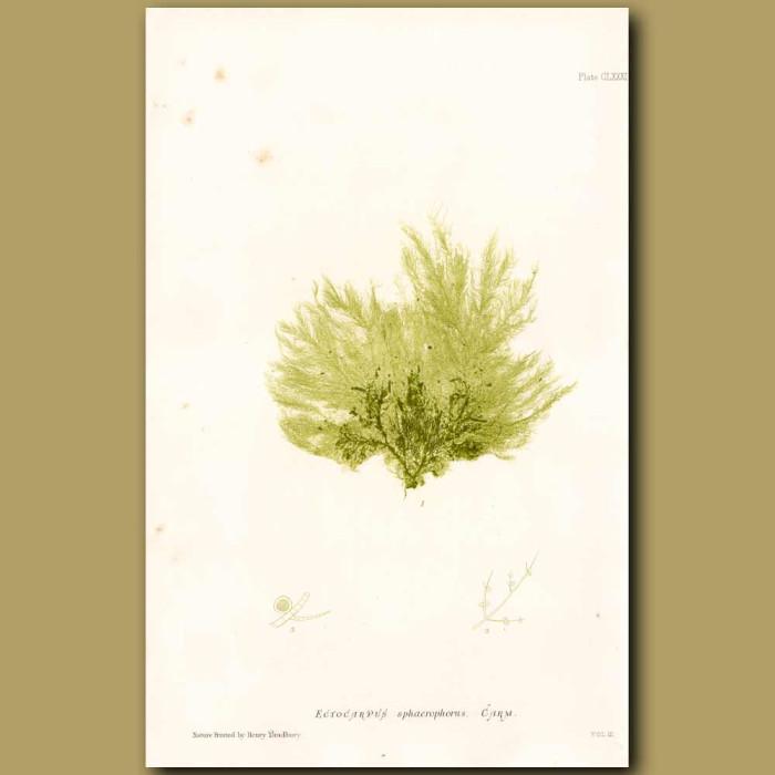 Antique print. Seaweed: Ectocarpus sphaerophorus