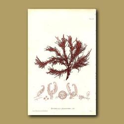 Wrinkled Seaweed